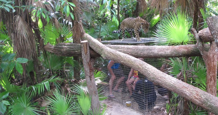 Tiger-Cage-WHEP-in-Belize-2015